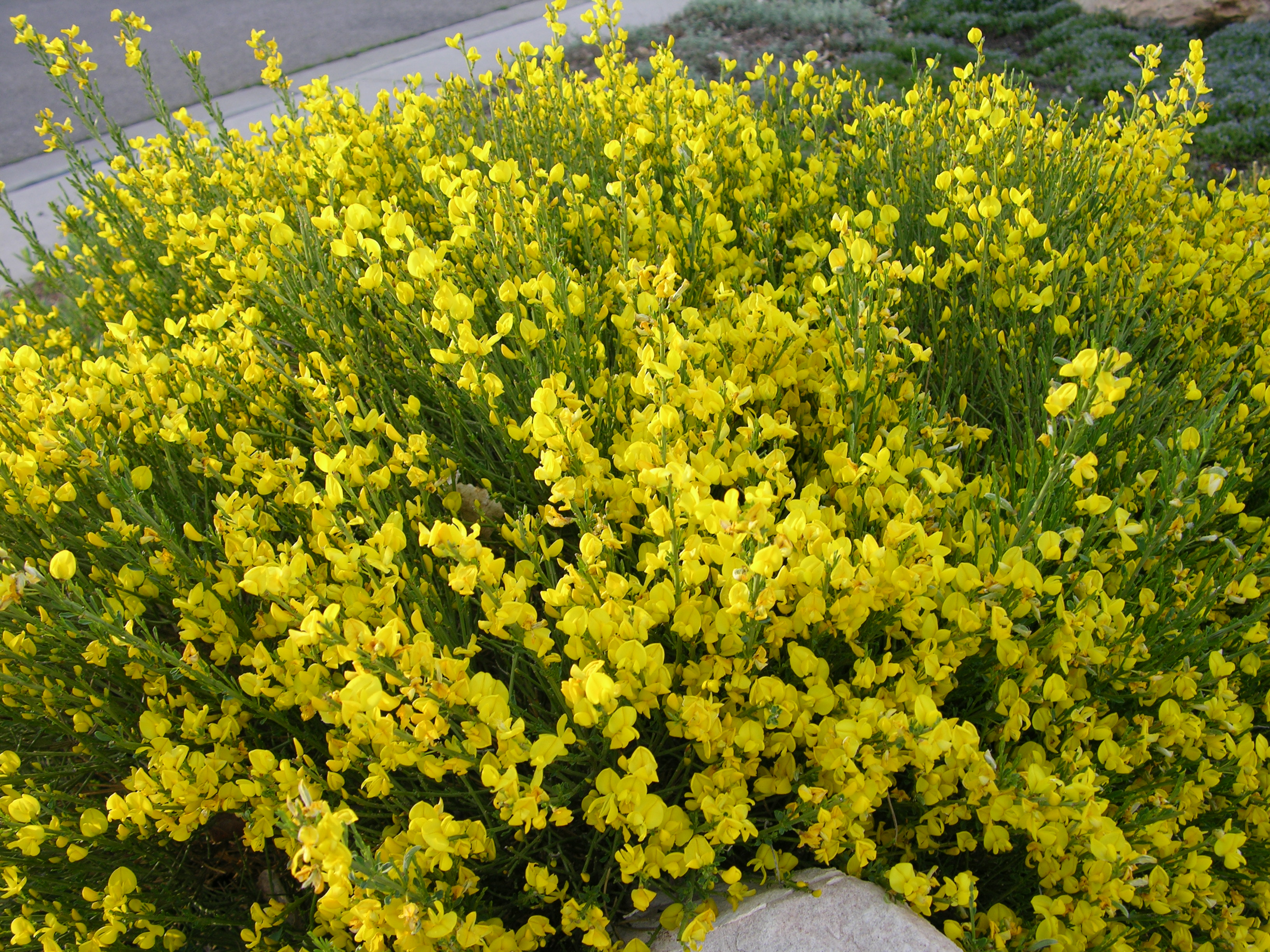 spanish gold broom plant select rh plantselect org