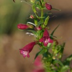 Penstemon x mexicali Garnet - PatHayward