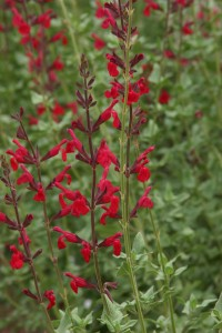 Windwalker royal red salvia Plant Select