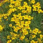 Zinnia grandiflora - David Salman
