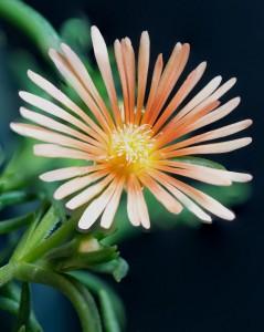 Delosperma 'Alan's Apricot' ice plant