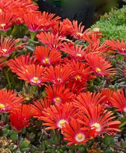 Delosperma RED MOUNTAIN Flame ice plant
