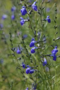 Salvia reptans Autumn Sapphire sage