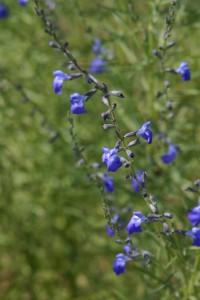 Salvia reptans COMPACT form (5)