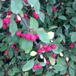 Cotoneaster racemiflorus soongoricus fruit_Scott Skogerboe