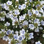 Veronica SNOWMASS blue-eyed_Pat Hayward close