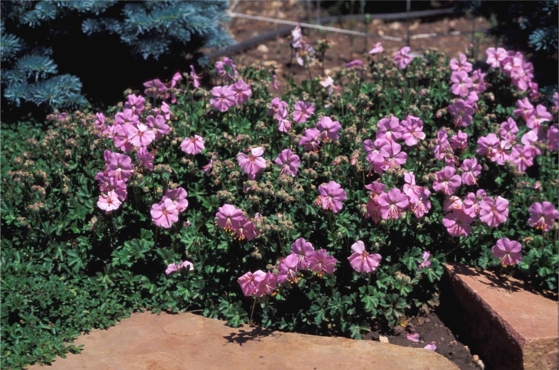 The Ground Cover Geranium Plant Select