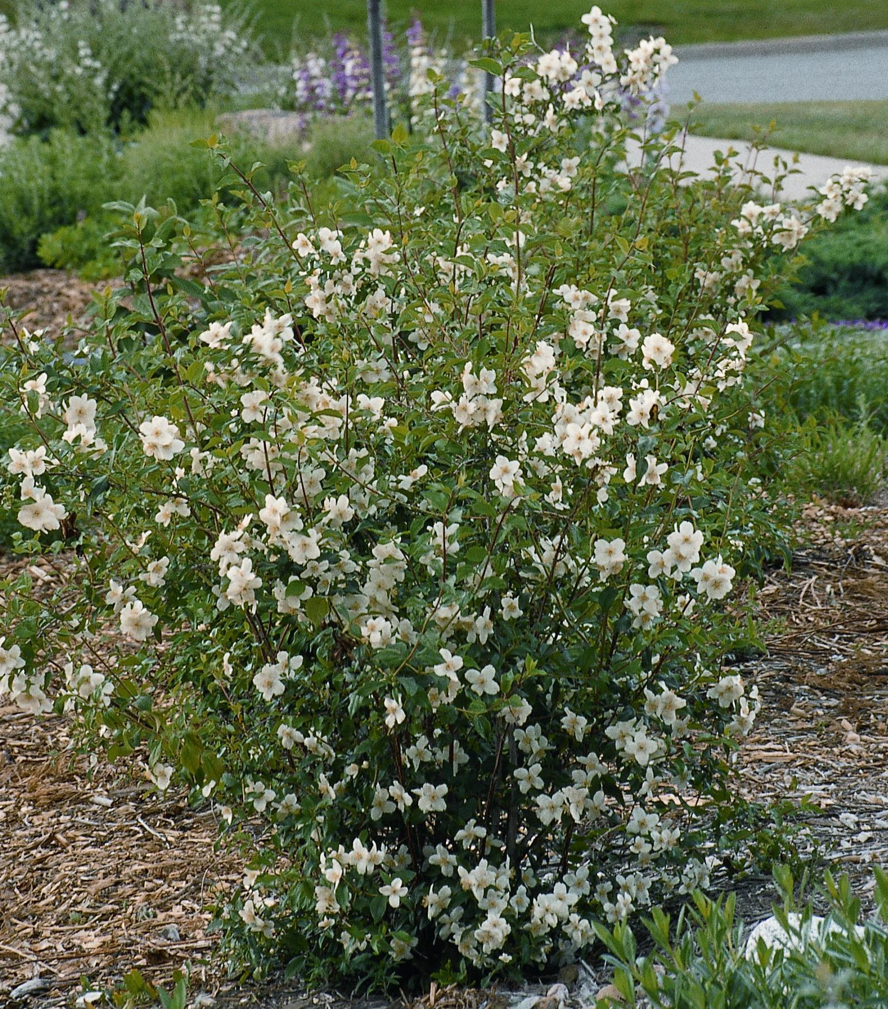 Meet Our Native Mock Orange Plant Select